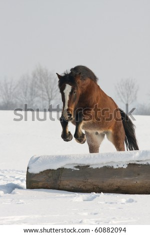 Nice welsh pony jumping
