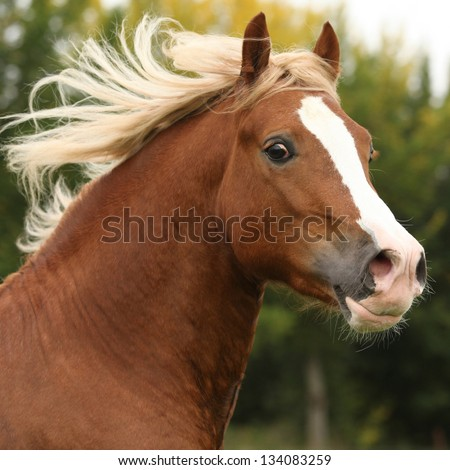 Nice welsh pony stallion with blond hair running on pasturage