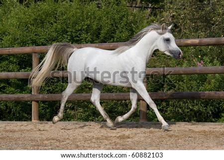 arabian horse wallpaper. arabian horses search for