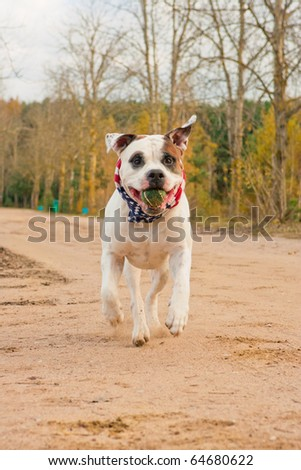nice white highbred bulldog dog on hind feet holding small green ball in mouth and looking towards to camera and running