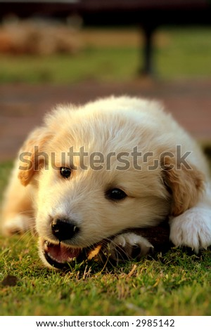 nice white labrador playing on grass