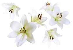 Nice white lily flowers isolated on a white background