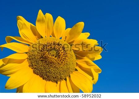 Nice yellow sunflower on blue background