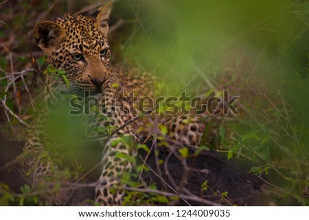 Nice young Leopard resting on Masai Mara in Kenya, Africa #1244009035
