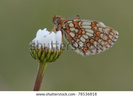 Nickerl's Fritillary Butterfly (Melitaea aurelia) resting on a white plant