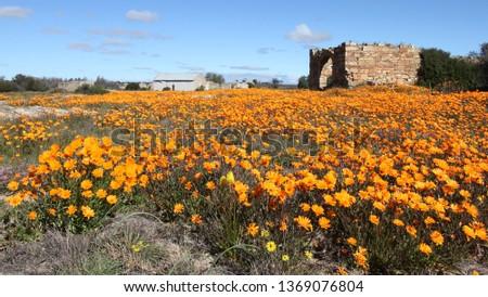 Nieuwoudtville wild flowers