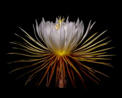 Night Blooming Cereus flowering ceroid cacti that bloom at night