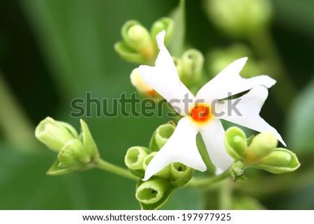 Night flower jasmine