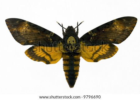 """Night hawk moth from picture """"Silence of the lamb"""""""