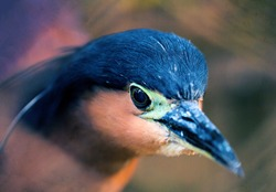 Night heron head closeup. Wild tropical bird photo. Heron in zoo. Philippines heron. Wild animal of tropical nature. Water bird with long beek. Tropical bird watching. Exotic island fauna. Wild bird