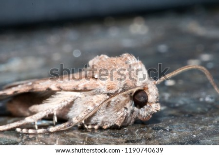 Night Insect Brown Moth Close Up Picture