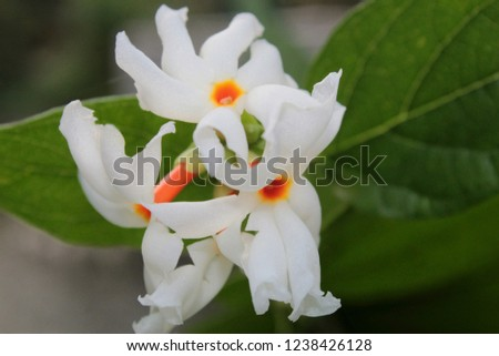 Night jasmine or parijat or coral jasmine ( Nyctanthes arbortristis or Nyctanthes arbor tristis). The flowers are fragrant, with a five to eight lobed white corolla with an orange red centre. India