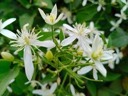 Night jessamine or Cestrum nocturnum, night blooming jasmine, or raatrani.