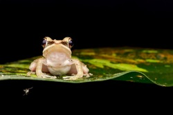 Night macro closeup of White Lips Frog