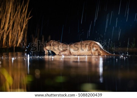 Night picture of a European Otter (Lutra lutra) in rain, eating a fish.