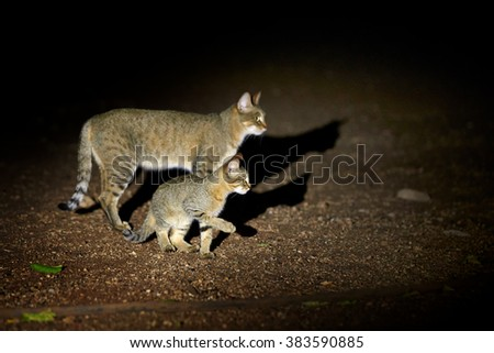 Night picture of African wildcat, Felis silvestris lybica, female cat with a kitten, lit by spotlight against black background. Side view. Kruger national park, South Africa.