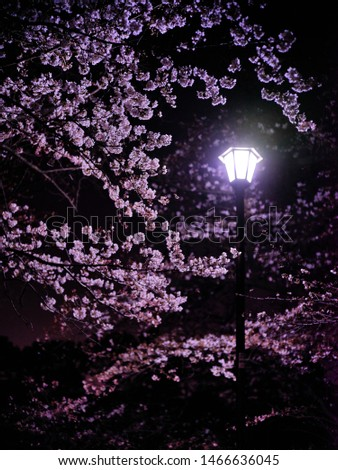 Night sakura lit brightly by a lamp