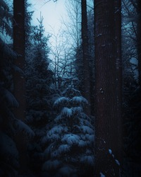 Night view of mysterious dark winter forest in moody style. Snowy dense woods in cold tones and dark colors. A little young pine tree covered with snow in darkness among tree. Winter nature landscape.