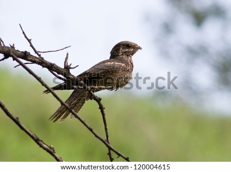 Nightjar (Caprimulgus europaeus) sitting on a branch in the afternoon.