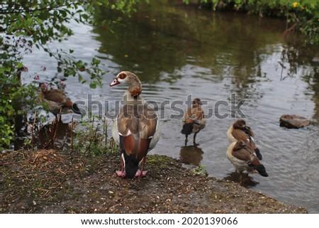 Nil geese with goslings on the riverside in germany. Selected focus. Stok fotoğraf ©