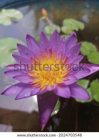 Nil Manel Flower, Blue Water Lily, Egyptian Lotus and National Flower of Sri Lanka, flower with an insect    Stok fotoğraf ©