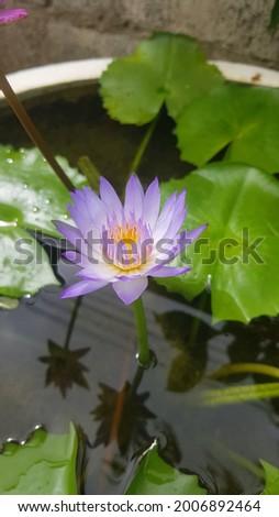 Nil Manel Or Blue Water Lily Flower. National flower. Beautiful Sri Lanka - The beautiful Nil Manel or blue water lily, was declared as the national flower of Sri Lanka in 1986. Stok fotoğraf ©