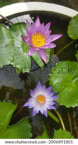 Nil Manel Or Blue Water Lily Flower. National flower (star lotus, Nil Manel) Beautiful Sri Lanka - The beautiful Nil Manel or blue water lily, was declared as the national flower of Sri Lanka in 1986. Stok fotoğraf ©
