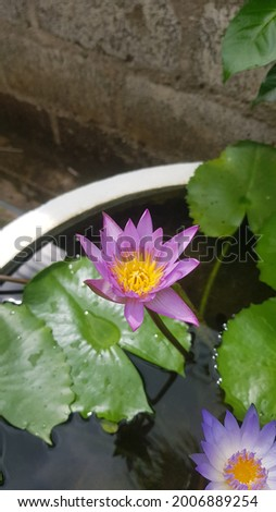 Nil Manel Or Blue Water Lily Flower. Water lilies and lotuses Sri Lanka. National flower (star lotus, Nil Manel) nature Lanka flowers Stok fotoğraf ©