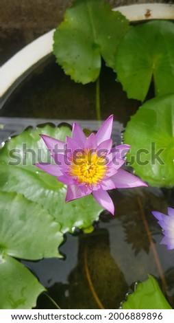 Nil Manel Or Blue Water Lily Flower. Water lilies and lotuses Sri Lanka. National flower (star lotus, Nil Manel) Stok fotoğraf ©