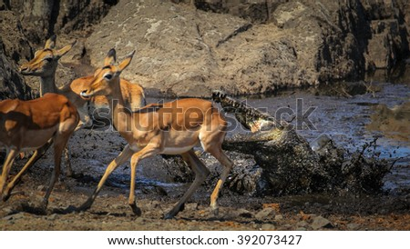 Nile crocodile attacking impala at edge of river, South Africa stock photo