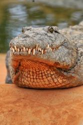 Nile crocodile (Crocodylus niloticus), dangerous crocodiles