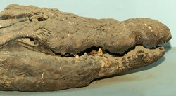 Nile crocodile (Crocodylus niloticus) is a large crocodilian native to freshwater habitats in Africa. Stuffed reptile. A mummified animal.