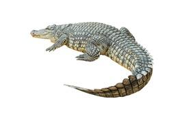 Nile crocodile (Crocodylus niloticus) isolated on white background