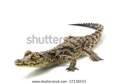 Nile crocodile (Crocodylus niloticus) isolated on white background.