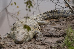 Nile crocodile Crocodylus niloticus large crocodilian at river Serengeti. High quality photo
