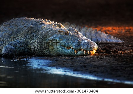 stock photo nile crocodile crocodylus niloticus on riverbank with last light of day kruger national park 301473404 - Каталог — Фотообои «Животные»