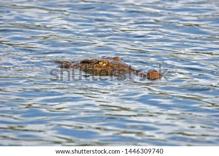 Nile Crocodile (Crocodylus niloticus) swimming in a lake on Madagascar. Showing head above the water only.  Opportunistic apex predators; a very aggressive species of crocodile. #1446309740