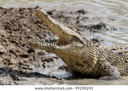 Nile Crocodile (Crocodylus niloticus) with mouth open, South Africa