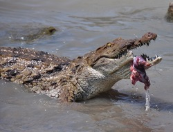 Nile crocodile eating piece of meat