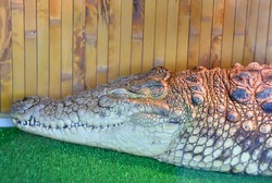 Nile crocodile (Lat. Crocodylus niloticusis) a large reptile family of real crocodiles