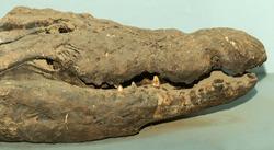 Nile crocodile Mummy (Crocodylus niloticus) is a large crocodilian native to freshwater habitats in Africa. Stuffed reptile. A mummified animal.