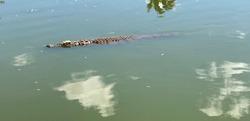 Nile crocodile swims at the lake of zoological natural park Ivato Croc Farm, Antananarivo. This dangerous reptile is biggest predator of Madagascar. The Lake of Crocodiles. Crocodylus niloticus.