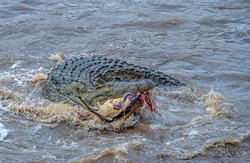 Nile crocodile with Kill, Crocodylus niloticus Mara River, Kenya, Africa
