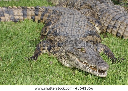 Nile crocodile with open mouth showing it's fearsome teeth