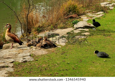 Nile goose (Egyptian goose) with several sleeping kits and two coots on the bank of a stream. Peaceful picture with two species of waterfowl.