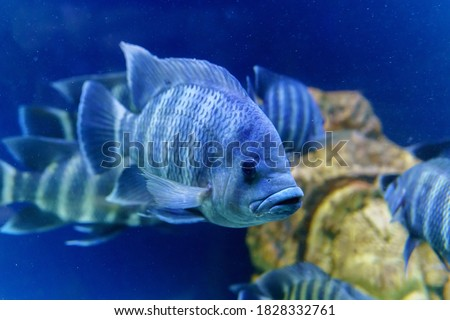 Nile tilapia fish is species of tilapia. Commercially important as a food fish and is also farmed. It is also commercially known as mango fish