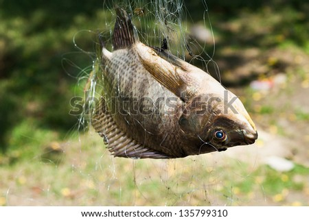 Nile tilapia fishes  in the net. #135799310