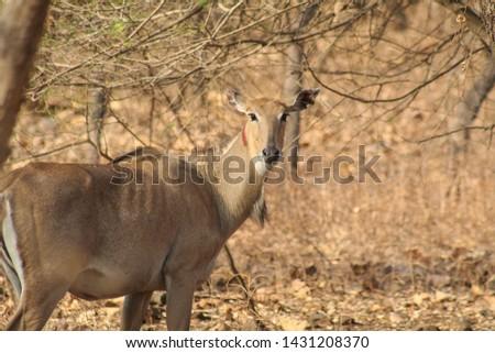 Nilgai-Blue Buck in Sasan Gir India