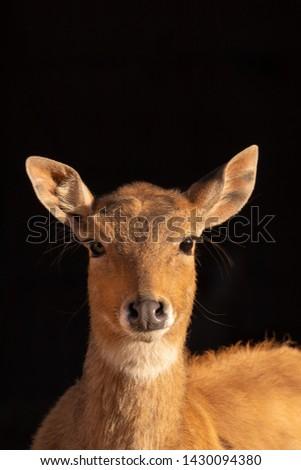 Nilgau antelopes in the zoo dresden #1430094380