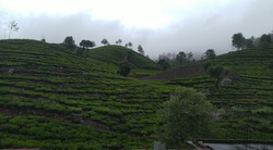 Nilgiri tea estate road view